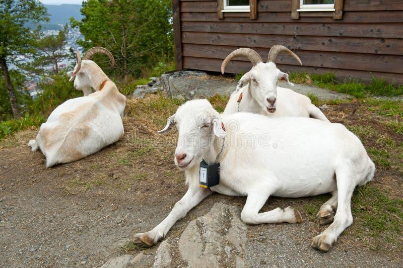 Chèvres sur le bâti Floyen à Bergen, Norvège photo libre de droits