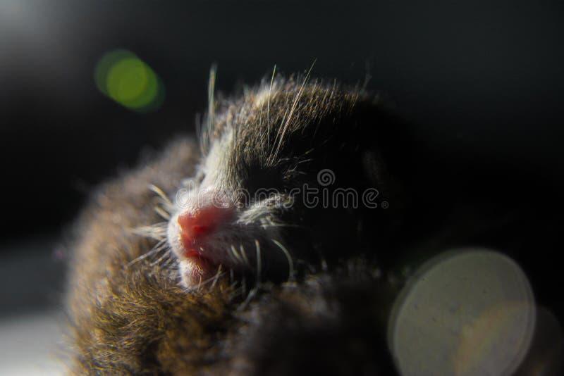 Ch? gattino neonato sveglio che dorme insieme, il 30 maggio 2019 fotografie stock