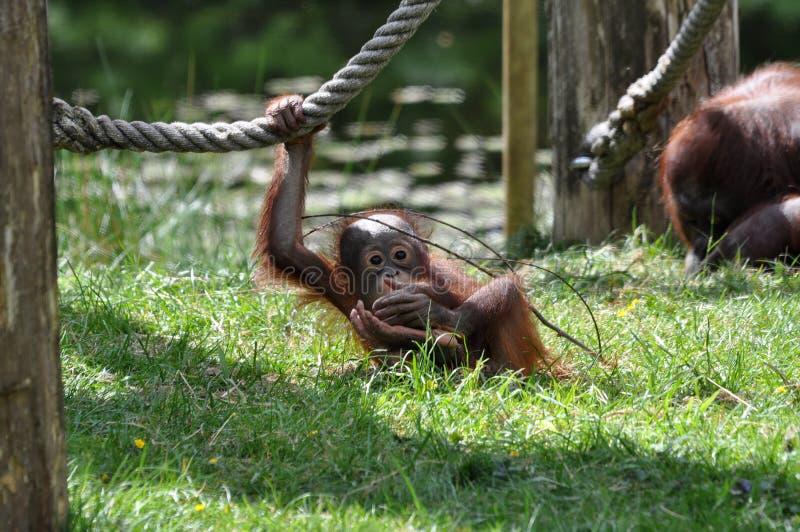 Chéri d'orang-outan photo stock