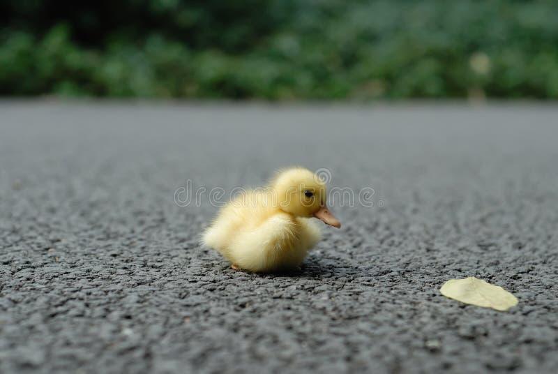 Chéri de canard photo libre de droits