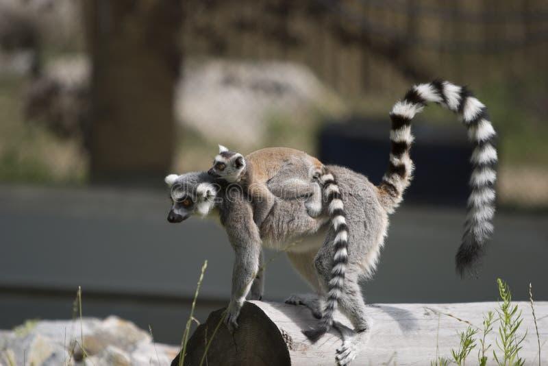Chéri de transport de Lemur photos libres de droits