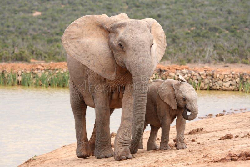 Chéri et mère d'éléphant photos libres de droits