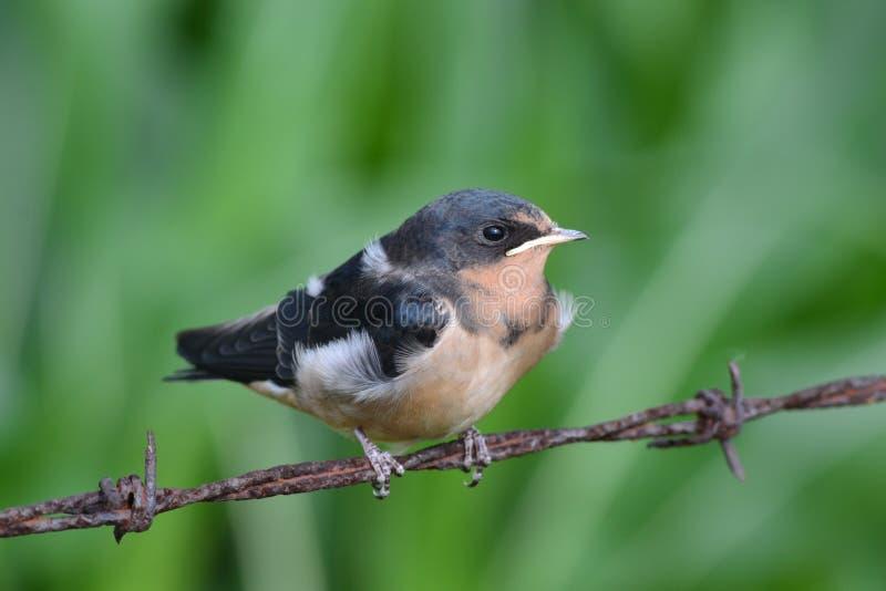 Chéri Robin photo libre de droits