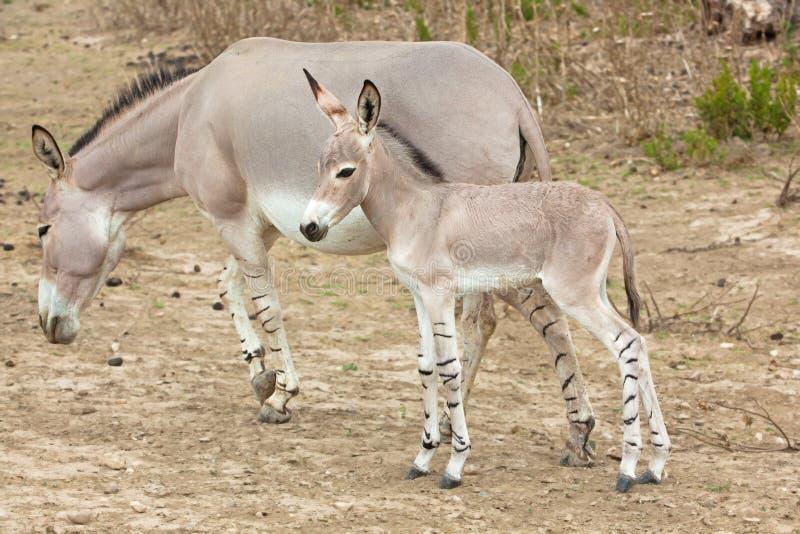 Chéri somalie et mère d'âne sauvage image libre de droits