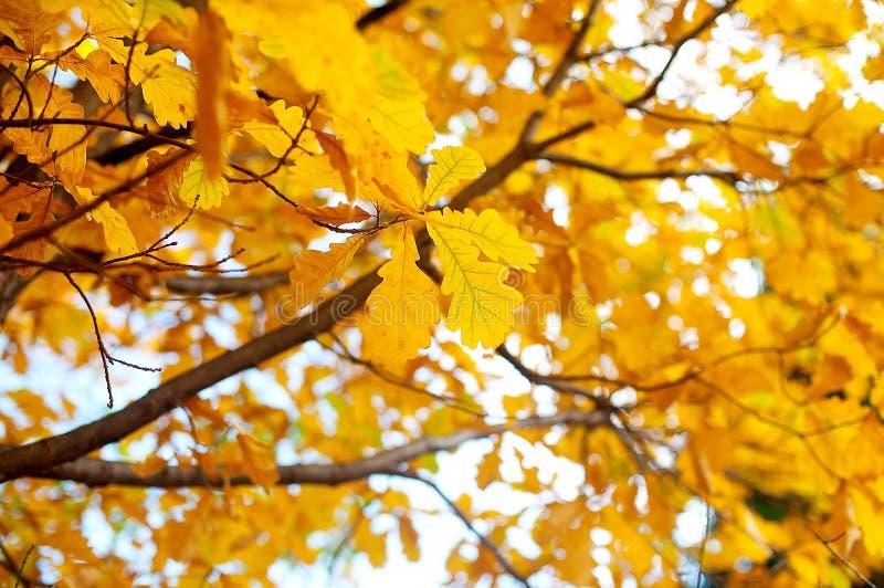 Chêne automne feuilles colorées chaud automne coucher de soleil arrière-plan flou photographie stock libre de droits
