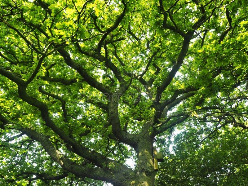 Chêne avec de nouvelles feuilles de ressort et une boîte de batte images libres de droits