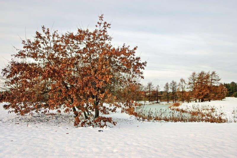 Chêne avec les feuilles rouges en hiver par le lac avec la neige au sol photographie stock libre de droits