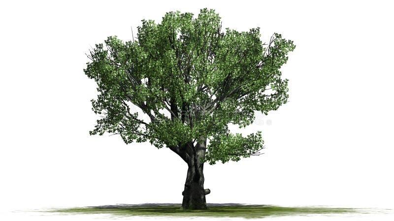 Chêne blanc sur un erea vert illustration de vecteur