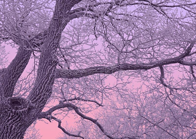 Chêne couvert de neige au crépuscule pourpre image stock