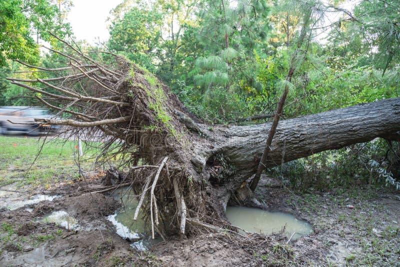 Chêne déraciné photo stock