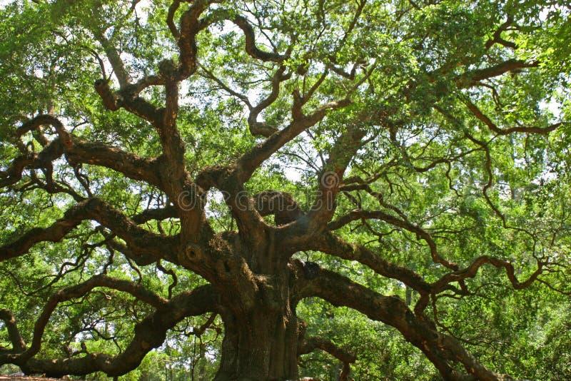 Chêne d'ange photo libre de droits
