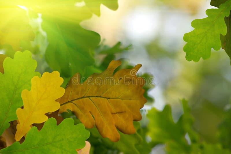 Chêne d'arbre de lames d'automne photo stock
