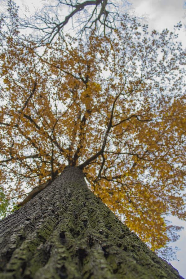 Chêne d'automne photos libres de droits
