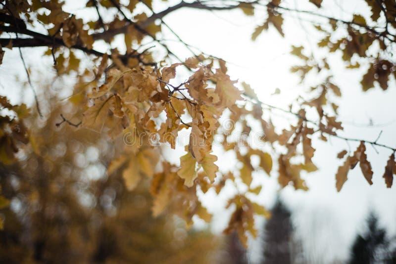 Chêne d'automne photo stock