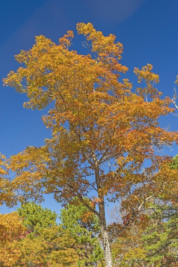Chêne dans des couleurs d'automne images libres de droits