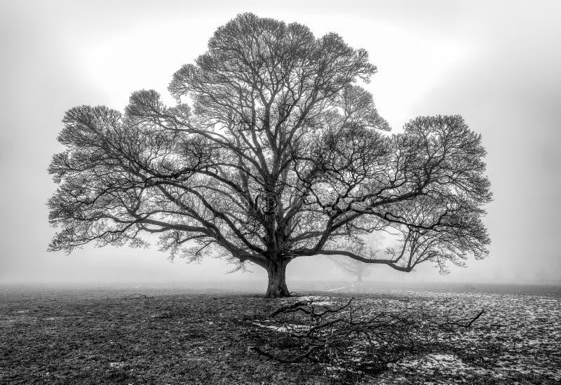 Chêne dans le brouillard image stock