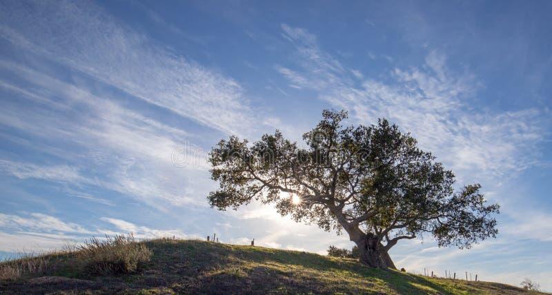 Chêne de la Californie éclairé à contre-jour par des rayons du soleil dans le vignoble dans Santa Rita Hills en Californie Etats- image stock