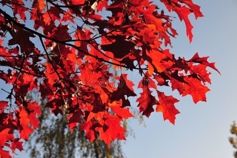 chêne de lames d'automne photo stock