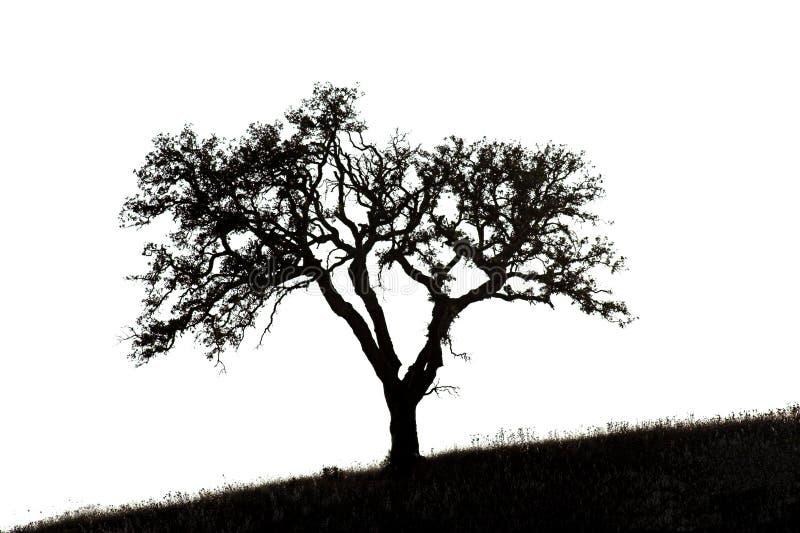 Chêne de liège illustration de vecteur