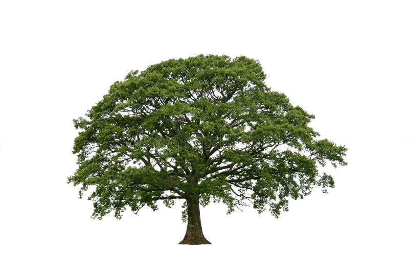 Chêne de printemps sur le blanc photographie stock libre de droits