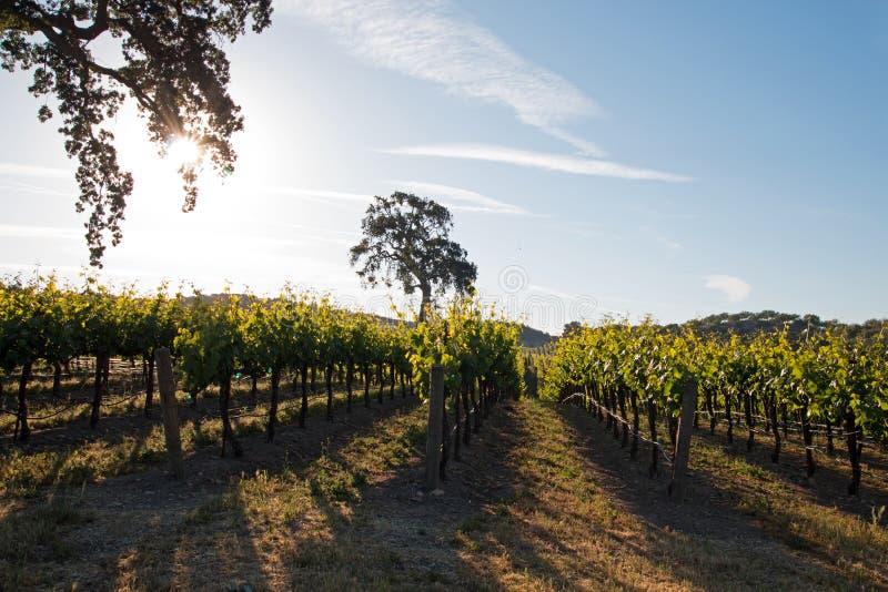 Chêne de vallée de la Californie dans le vignoble au lever de soleil dans le vignoble de Paso Robles dans le Central Valley de la photo stock