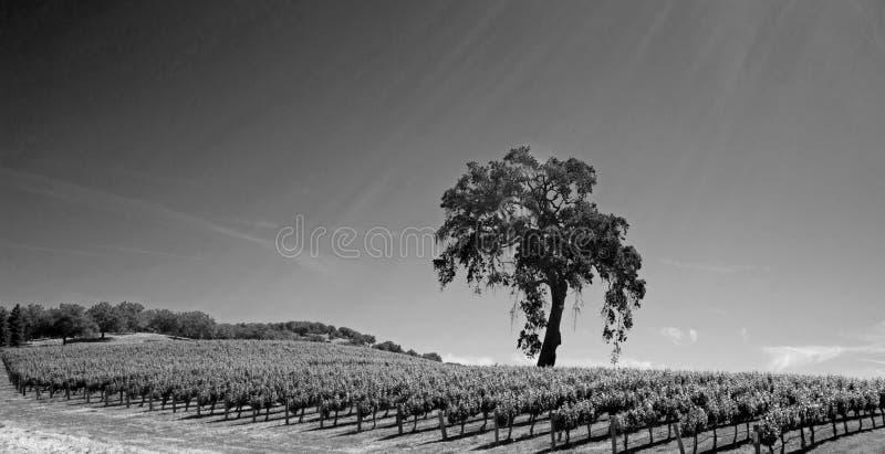 Chêne de vallée de la Californie dans le vignoble dans le pays de vin de Paso Robles en Californie centrale Etats-Unis - noire et photographie stock libre de droits