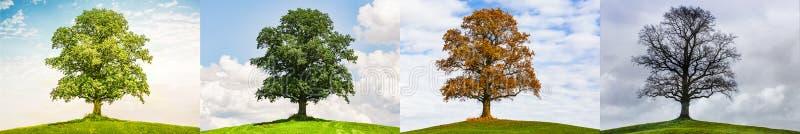 Chêne en quatre saisons photographie stock libre de droits