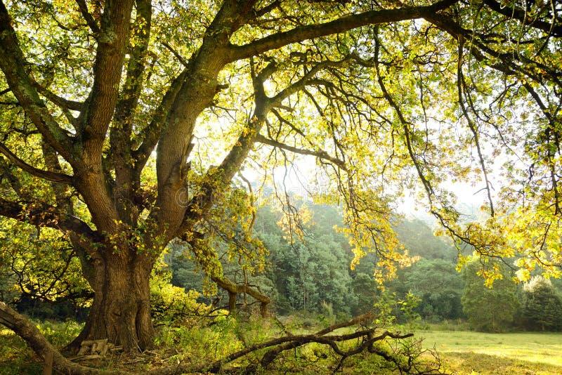 Chêne et pré image libre de droits