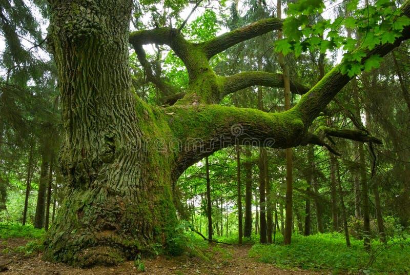 Chêne puissant. photographie stock libre de droits