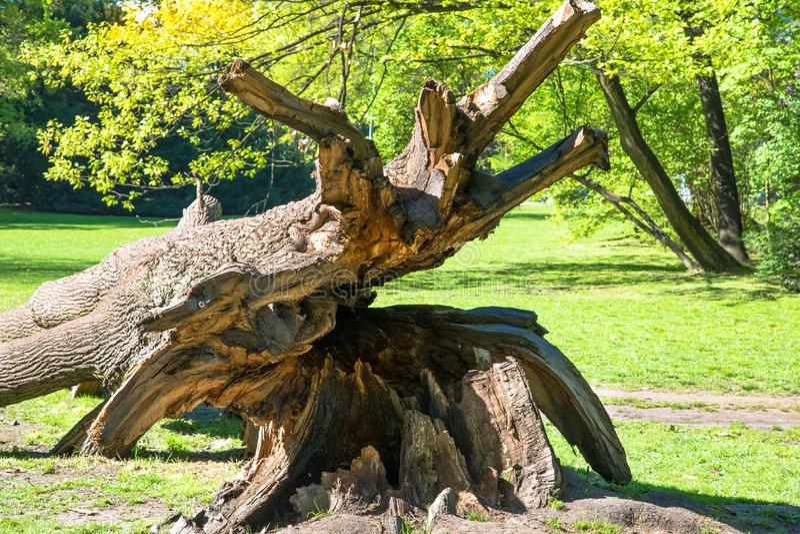 Chêne puissant tombé en Pologne orientale photos libres de droits