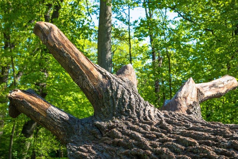 Chêne puissant tombé en Pologne orientale images libres de droits