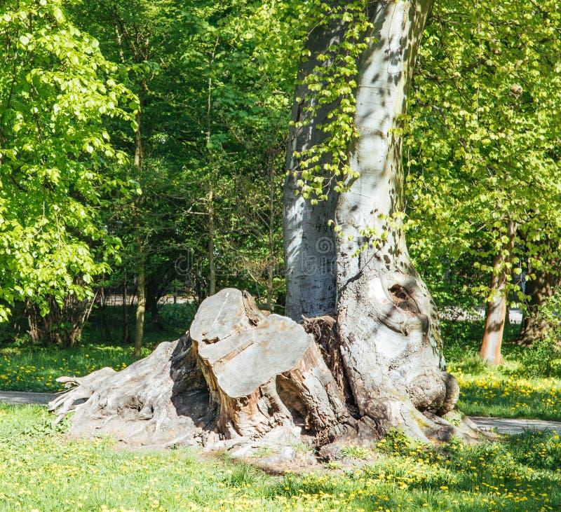 Chêne puissant tombé en Pologne orientale image libre de droits