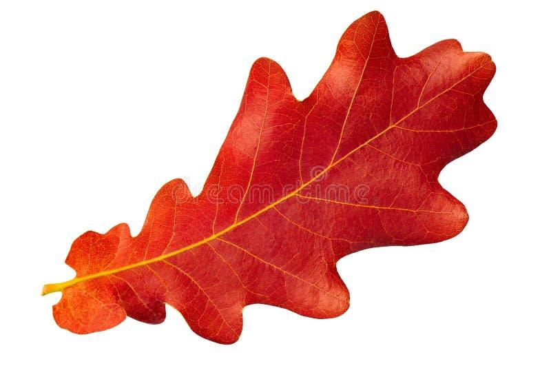 Chêne rouge de lame d'automne sur le fond blanc image libre de droits