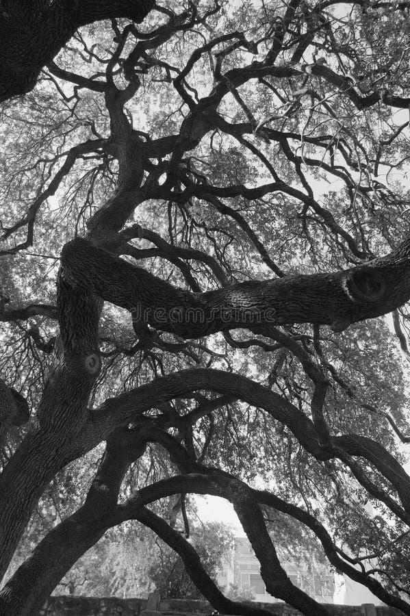 Chêne sous tension à Alamo photos stock