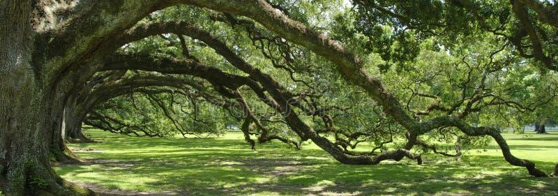 chêne sous tension vert de voûte méridional photo libre de droits