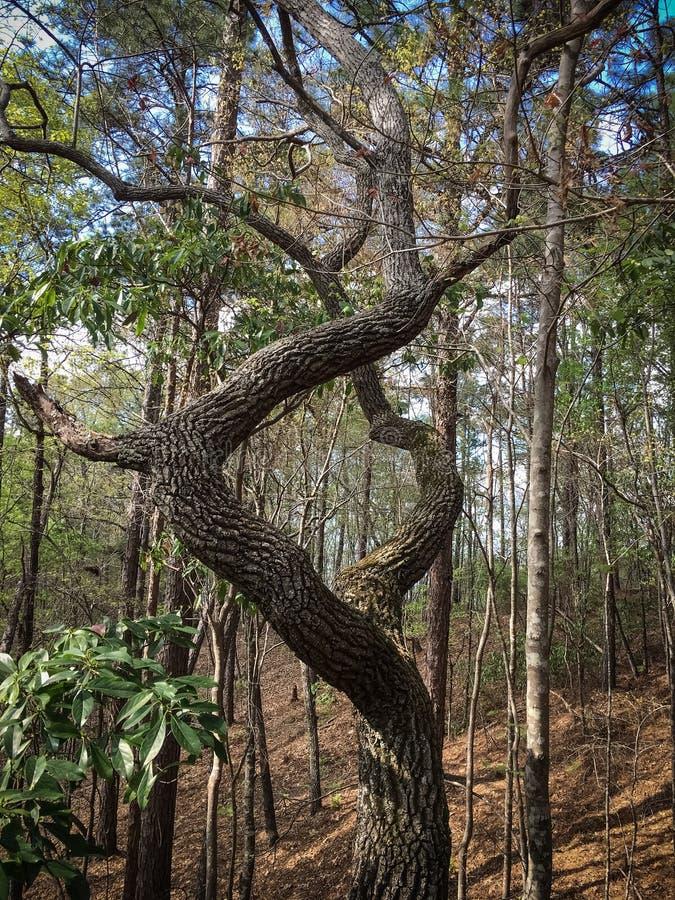 Chêne tordu sur le sentier de randonnée photo stock