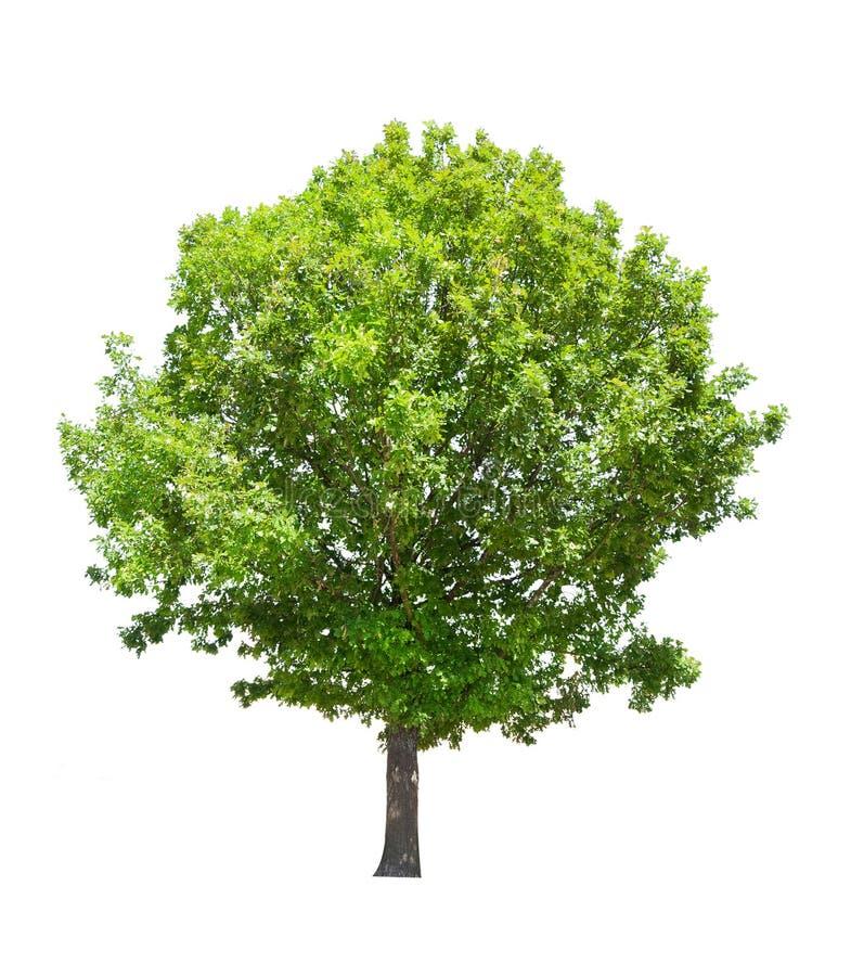 Chêne vert d'isolement d'été images stock