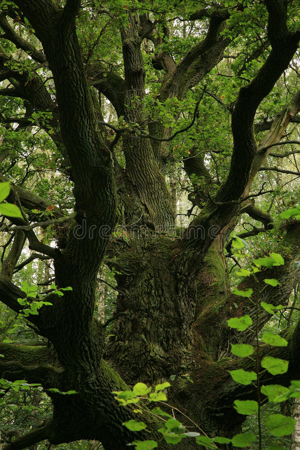 Chêne vert et vieux. photo stock