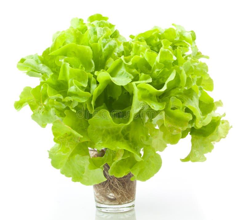 Chêne vert végétal hydroponique images stock