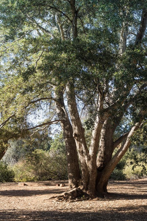 Chêne vivant de côte, chêne à feuilles persistantes côtier sain grand, forêt en Californie du sud, verticale photo stock