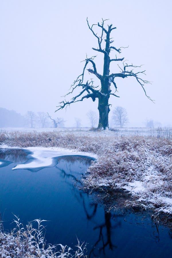 Chênes dans l'aura d'hiver photo libre de droits