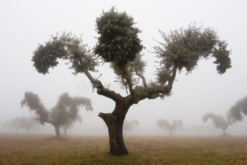 Chênes dans le brouillard 4 image stock