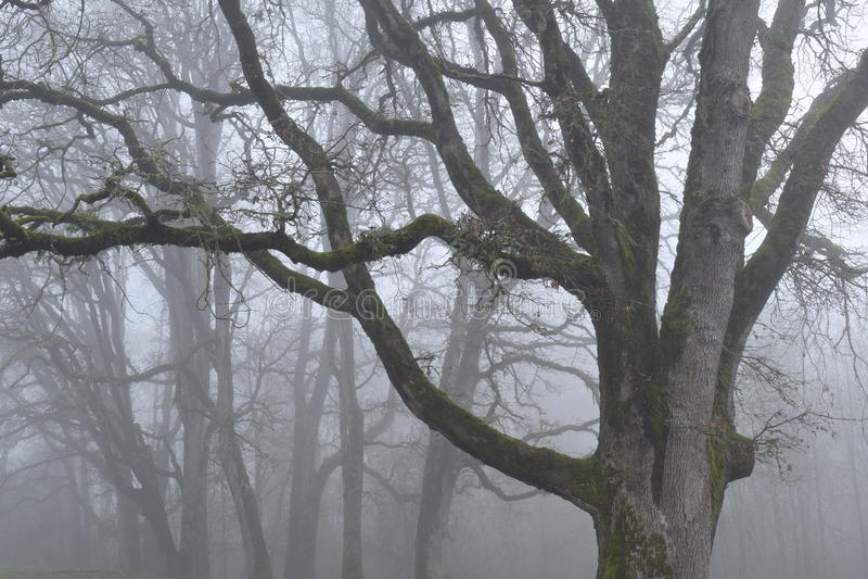 Chênes en brouillard photo stock