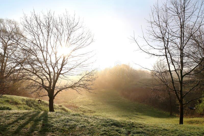 Chênes nus de ressort sur un lever de soleil brumeux de matin photographie stock