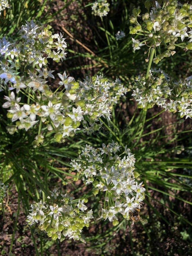 Chíbese el ajo oriental del aglina, una planta medicinal, también llamada hierba medicinal foto de archivo