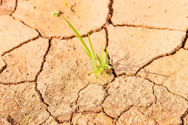Chíbese el crecimiento en el campo de la sequía, tierra de la sequía fotos de archivo