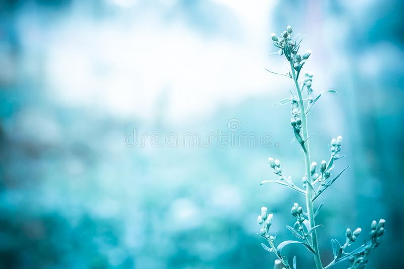 Chíbese la flor en la luz de la mañana de la salida del sol con el filt azul del color foto de archivo
