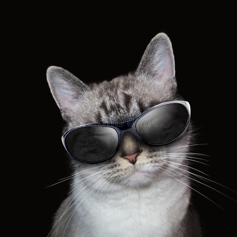 Chłodno Biały kot Z Partyjnymi okularami przeciwsłonecznymi na czerni obrazy royalty free