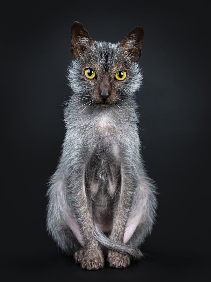 Chłodno Lykoi kot na czarnym tle zdjęcia royalty free