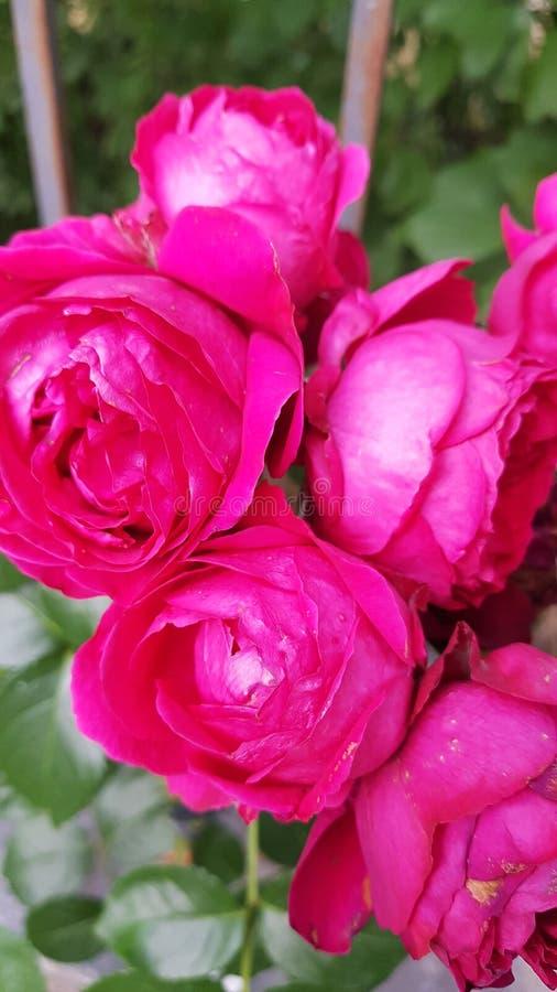 Chłodno różowe krzak róże obraz royalty free